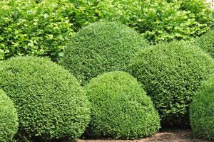 ziergehölze im garten - immergrün und winterhart, Garten Ideen