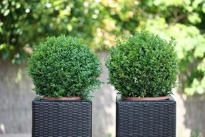 buchsbaum im k bel pflege und berwintern im topf. Black Bedroom Furniture Sets. Home Design Ideas