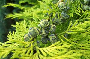 scheinzypresse pflanzen pflege krankheiten und schneiden. Black Bedroom Furniture Sets. Home Design Ideas