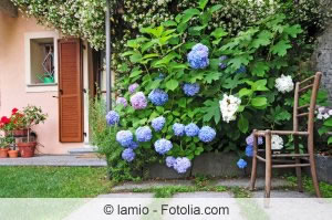 Hortensienbusch