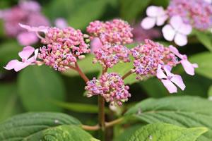 Blüte der Tellerhortensie