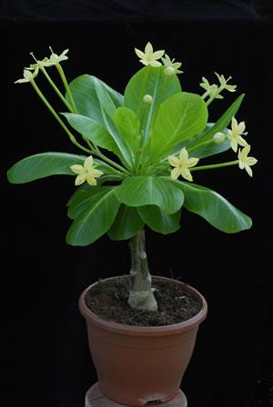 hawaii palme brighamia insignis pflege vermehren und berwintern. Black Bedroom Furniture Sets. Home Design Ideas