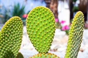 kaktusfeige feigenkaktus opuntia pflege und berwintern. Black Bedroom Furniture Sets. Home Design Ideas