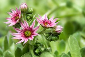 Hauswurz Blüte