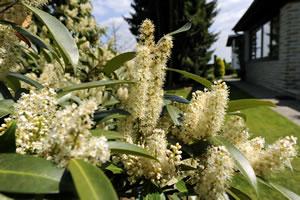 Kirschlorbeer mit Blüte