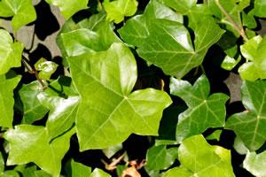 Beliebte Immergrüne Winterharte Kletterpflanzen Bluhende Kletterpflanzen Garten Topfpflanze