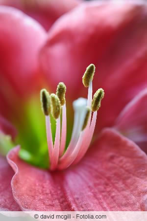 amaryllis hippeastrum ist verbl ht pflege nach der bl te. Black Bedroom Furniture Sets. Home Design Ideas