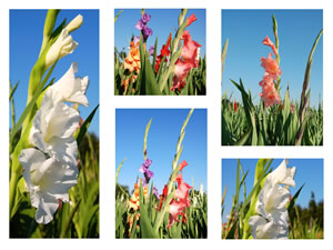 Gladiolen Collage
