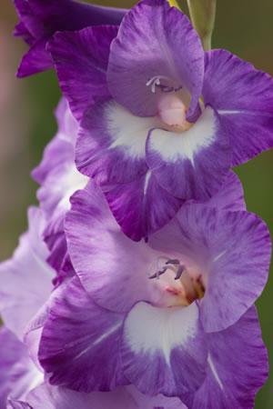 Gladiole violette Blüte
