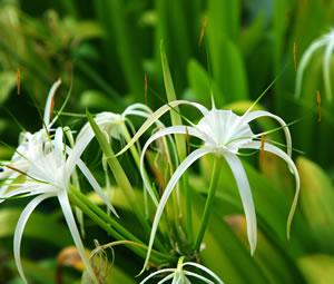 Ismene Pflanze
