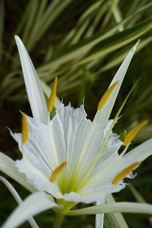 Blüte der Hymenocallis