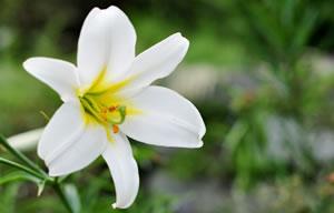 Blüte der Königslilie