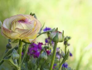 Blüten der Ranunkeln