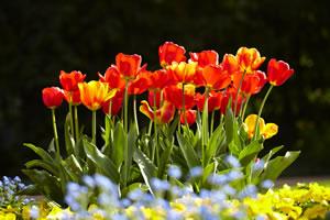 Tulpenzwiebeln Stecken - Tulpen Richtig Pflanzen Tulpen Im Garten Pflanzen