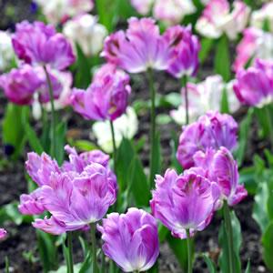 Tulpen - Pflanzen, Setzen Und Pflege Nach Der Blüte Tulpen Im Garten Pflanzen