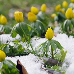 Eranthis hyemalis bei Schnee
