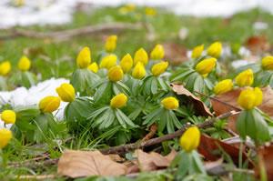 Winterling-Blüten