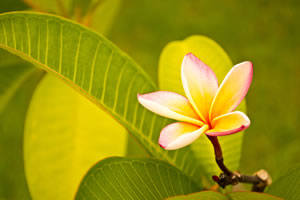 Blüte des Frangipani in gelb