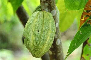 kakaobaum kakaopflanze pflanzen anbau und pflege. Black Bedroom Furniture Sets. Home Design Ideas