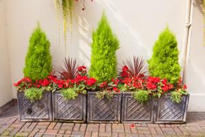 Keulenlilie zwischen Heckenpflanzen