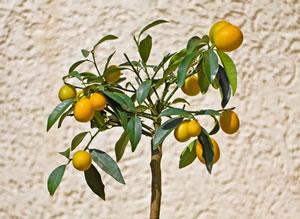 Kumquat Pflanze