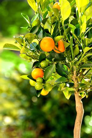 orangenbaum pflege und berwintern. Black Bedroom Furniture Sets. Home Design Ideas