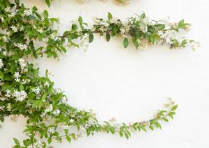 solanum jasminoides, sommerjasmin - pflege und Überwintern, Garten und Bauten