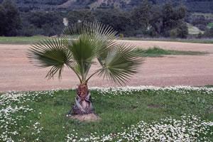 Zwergpalme in der Natur