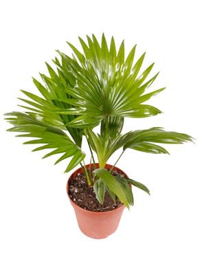 beliebte tropische pflanzen für den garten, Hause und garten
