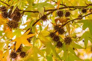 amberbaum kugelamberbaum pflege und schneiden. Black Bedroom Furniture Sets. Home Design Ideas