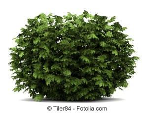 Japanische aralie aralia elata pflanzen und pflege - Japanische zimmerpflanzen ...