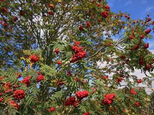 Ebereschenbaum