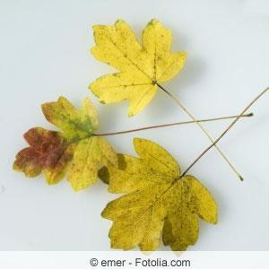 Blätter des Feldahorns