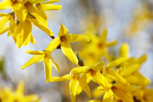 Blüten von Forsythien