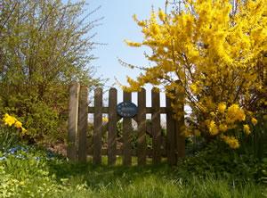 Forsythie im Garten