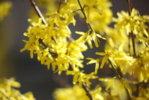 Blüten von Forsythia