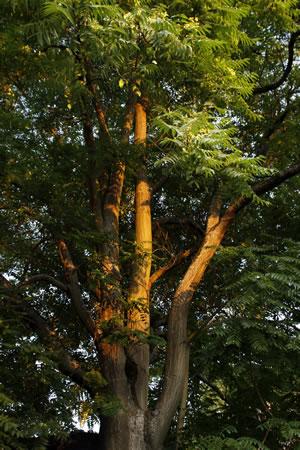 Götterbaum