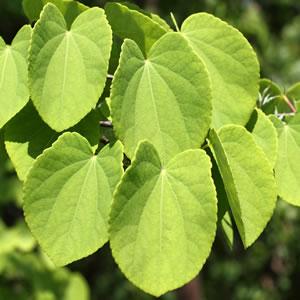 Kuchenbaum