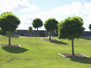 Kugelbaum immergrün