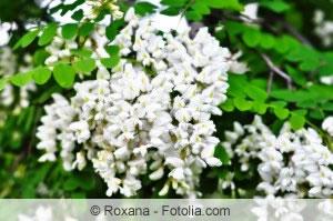 robinie robinia pseudoacacia pflanzen pflege und schneiden. Black Bedroom Furniture Sets. Home Design Ideas