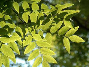 Blätter von Sophora japonica