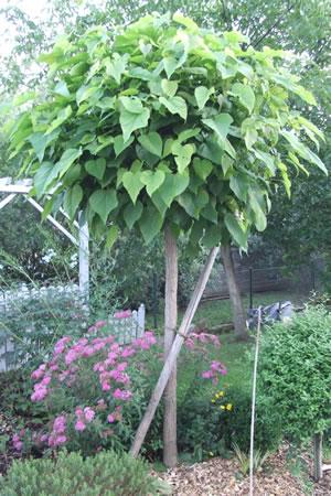 trompetenbaum pflege schneiden berwintern und krankheiten. Black Bedroom Furniture Sets. Home Design Ideas