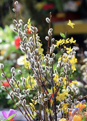 Weidenkätzchen, Kätzchen-Pflanzen - Pflege und Schneiden