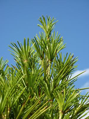 Japanische schirmtanne pflege schneiden und braune for Japanische pflanzen