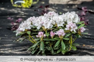 junger Rhododendron