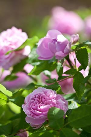 Rosen hoch
