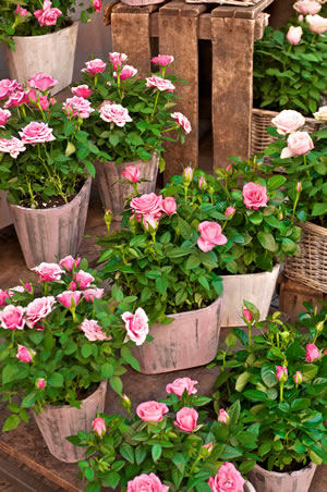 rosen berwintern pflege im winter