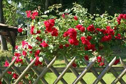 Rosen als Strauch