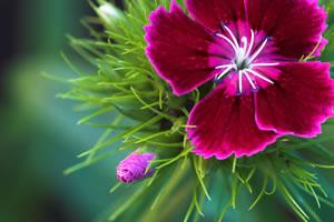 Blüte der Bartnelke