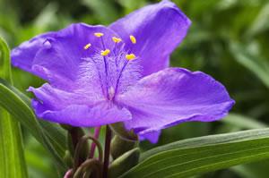 Blüte der Dreimasterblume